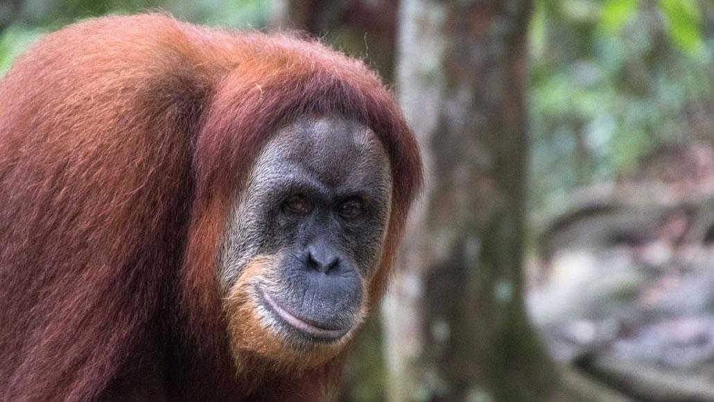 Sumatra Nord Samba Lado